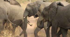 elephant ivory  World Elephant Day: Need to protect Tanzania's Selous reserve Elephants e1470954589910 300x160