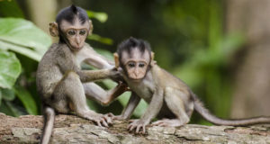 monkeys  Costa Rica to shut down zoos, free animals in captivity monkeys 300x160
