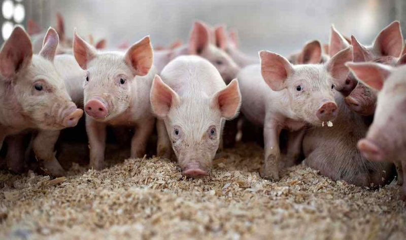 Pig farm  Agro firm partners pig farmers on energy generation from waste pigfarm e1530914675296