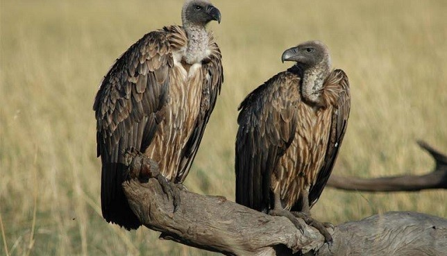 Vultures  Guinea-Bissau carnage: Petition calls for global action to stop killing of vultures vultures